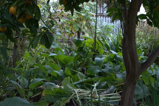 Food Forest Backyard : Backyard Food Forest  Flickr  Photo Sharing!