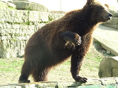animal, american black bear, mammal, grizzly bear, fauna, brown bear, bear, wildlife,