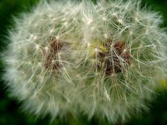 Dual Dandelion