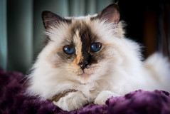 domestic long-haired cat, animal, small to medium-sized cats, skin, pet, ragdoll, close-up, cat, carnivoran, whiskers, eye, birman, himalayan,