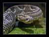 Crotalus durissus (Tropical Rattlesnake, Schauerkapperschlange) by guenterleitenbauer