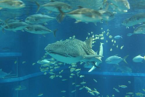 Japan 1 Animal Wildlife Blog Whale Shark Osaka