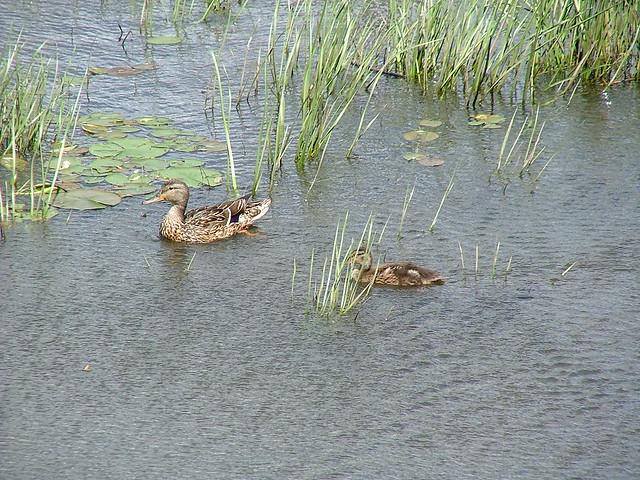 Deux canards dans la Saint-Charles I