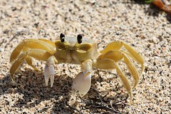 Crab that lives in a hole in the beach