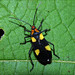 A colourful bug (Lygaeidae) from the Peruvian Amazon