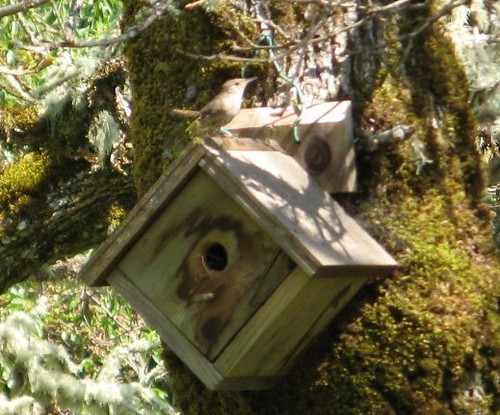 Home Wrecking House Wren~ Shocking Photo Series!!!