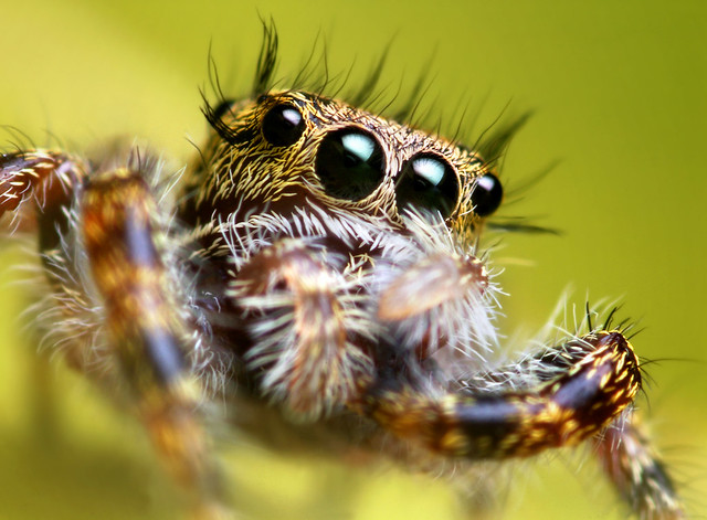 Jumping Spider Wiping its Eyes with its Palps