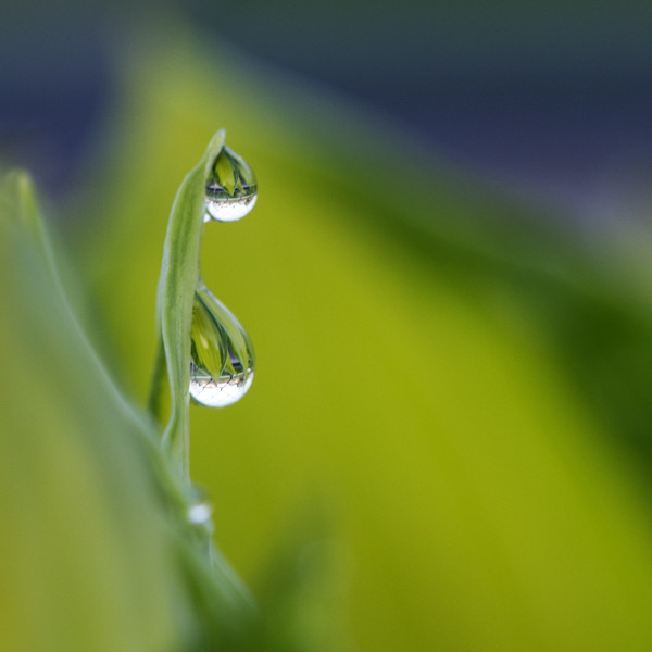 Tears - hosta bokeh