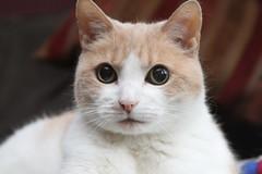 nose, animal, khao manee, small to medium-sized cats, pet, snout, burmilla, european shorthair, singapura, javanese, thai, close-up, cat, carnivoran, whiskers, domestic short-haired cat,