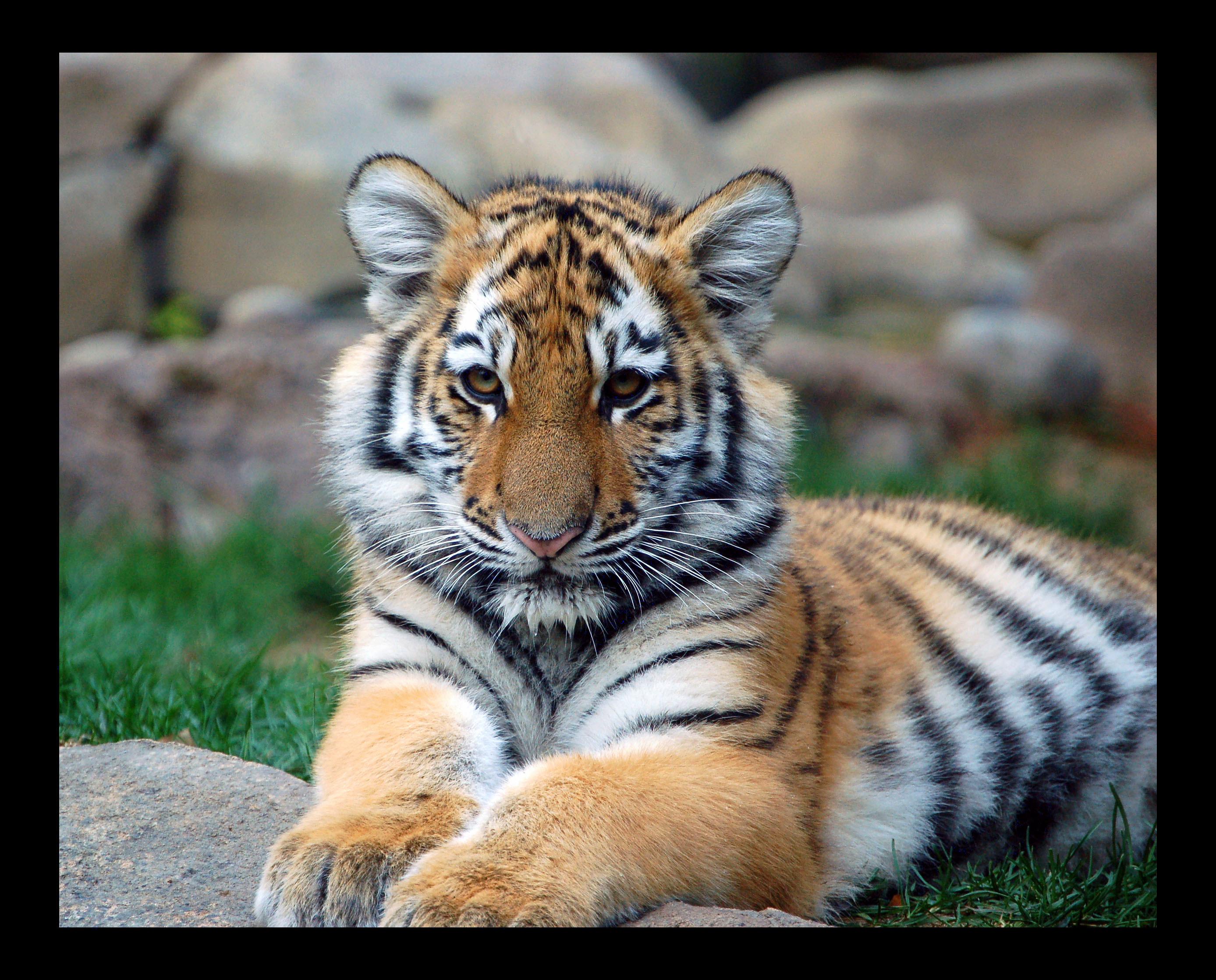 Flickr에서 digitalART2님의 Big Tiger Cub!