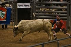 animal sports, rodeo, cattle-like mammal, bull, sports, performance, bullfighting, bull riding,