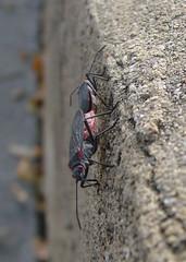 Jadera haematoloma and similar true bugs