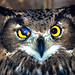 Eagle owl by floridapfe