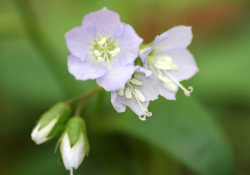 Jacob's ladder, Polemonium reptans