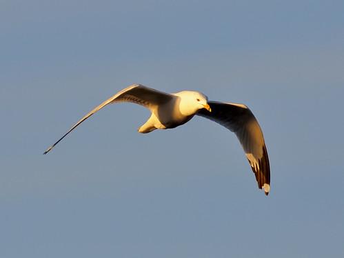 blue white bird nature birds animal nikon colorado weld wildlife seagull gull birding flight grace windsor elegant ornithology avian bif larimer d300 ringbilledgull 300f4 clff