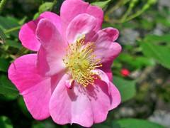 blossom(0.0), shrub(0.0), garden roses(0.0), rosa rugosa(0.0), flower(1.0), rosa gallica(1.0), plant(1.0), rosa rubiginosa(1.0), macro photography(1.0), rosa canina(1.0), flora(1.0), rosa acicularis(1.0), pink(1.0), petal(1.0),