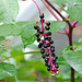 American Pokeweed - Photo (c) naitokz, some rights reserved (CC BY-ND)