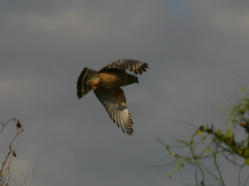 Red-shoulderedHawkFlying