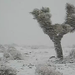 Snow on Joshua Trees by Vu Bui
