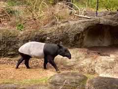 animal, fauna, tapir, safari, wildlife,