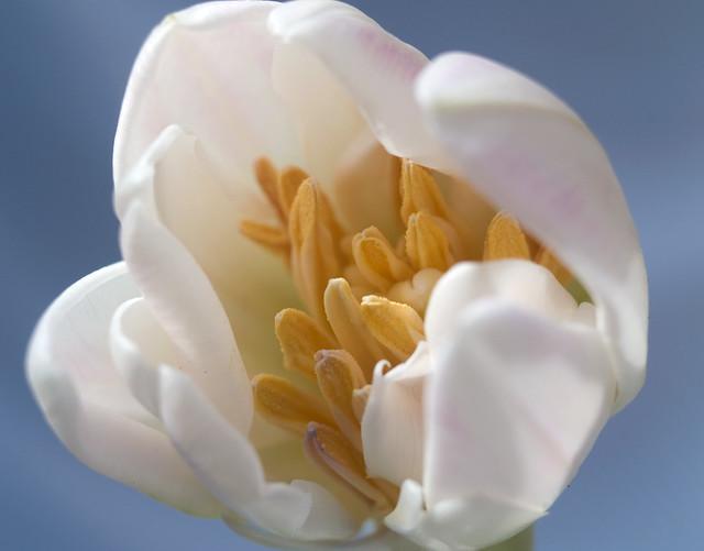 1244 White tulip