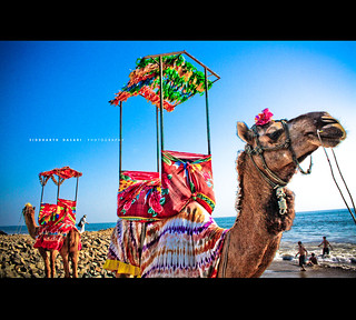 Camels on the Somnath beach.
