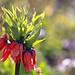لاله واژگون (Reverse Tulip)