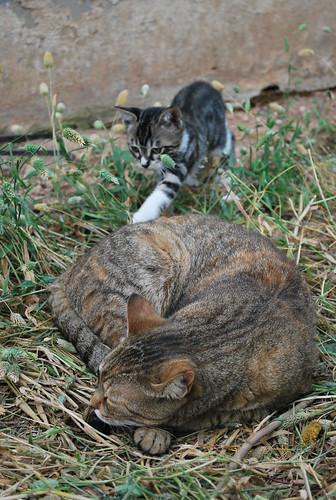 kitten play