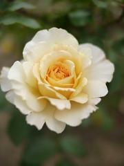 Rose, Lemon & Ginger, バラ, レモン アンド ジンジャー,