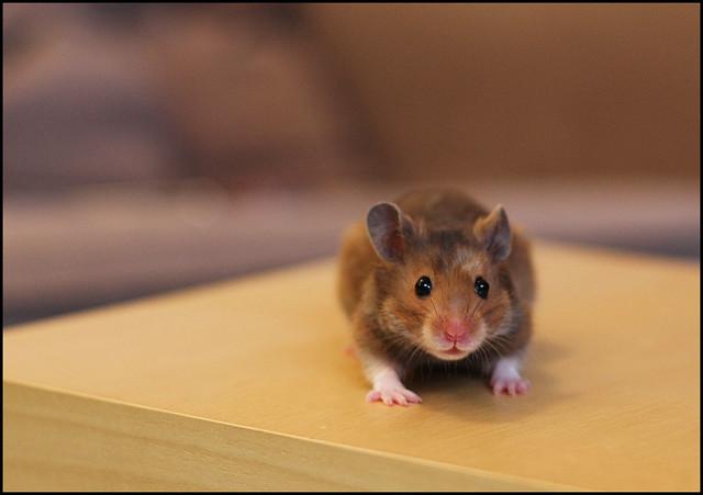 Hamster Haka