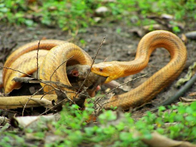 Snake Eats Rat Flickr Photo Sharing
