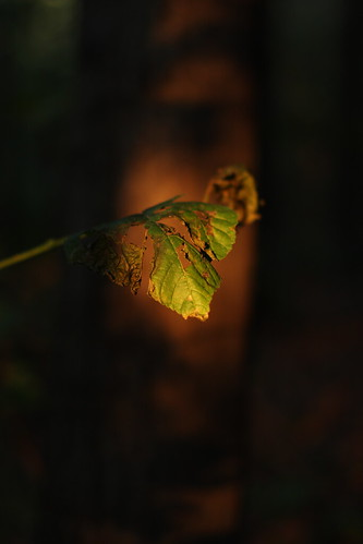 Leaves in Sunset