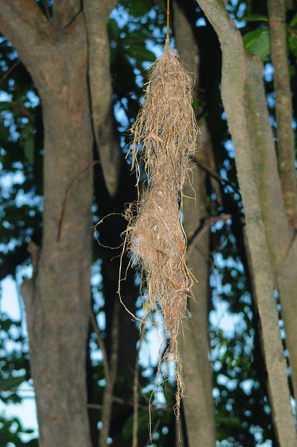 large-billed gerygone nest