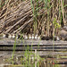 Canard branchu / Aix sponsa/ Wood duck by RichardDumoulin