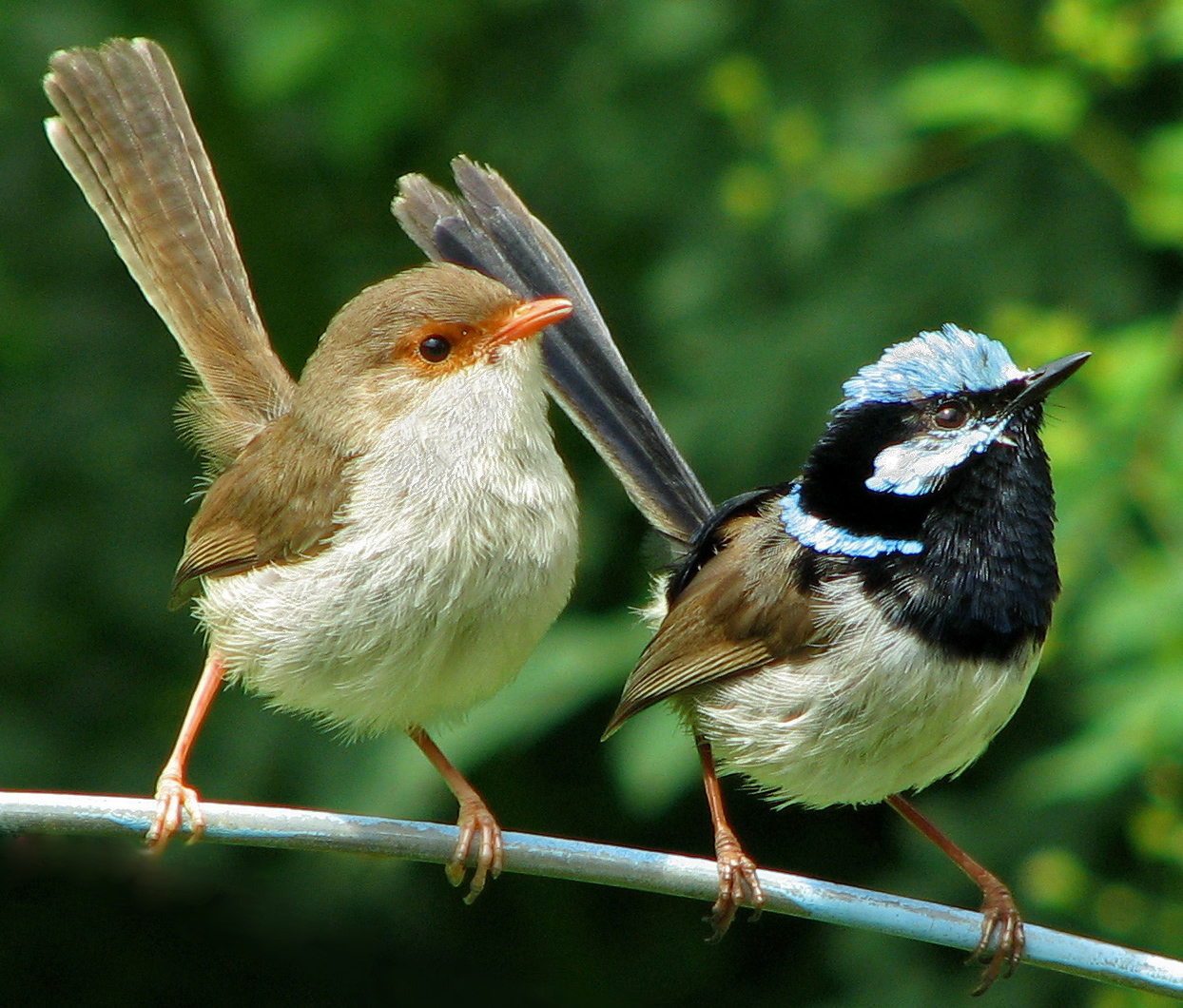 Superb Fairy Wrens