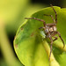 Crab spider and aphid #3 by Lord V