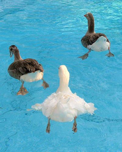 geese swimmingpool sebastopol pilgrim featheryfriday aswpix