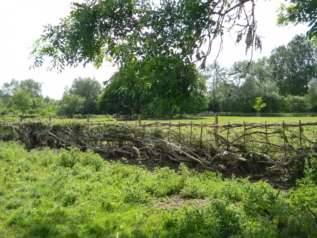 Laid hedge, Wittenham Clumps Appleford Circular