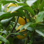 lemon planting in Aro Valley by shiny