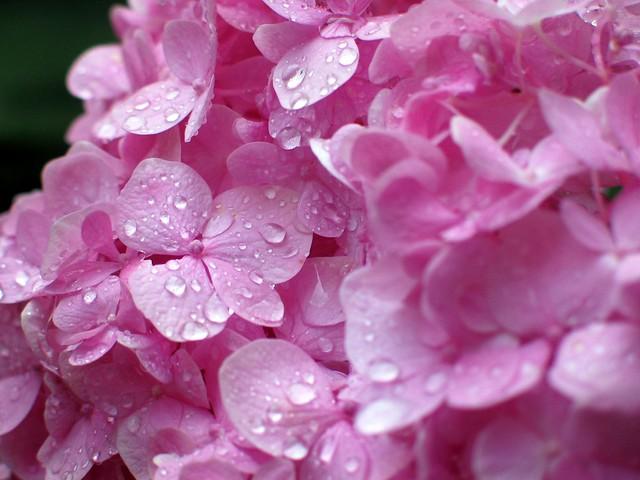 Gotas sobre ortensia rosa (cerca)