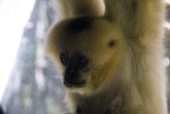 gibbon, animal, monkey, mammal, fauna, close-up, old world monkey, new world monkey,