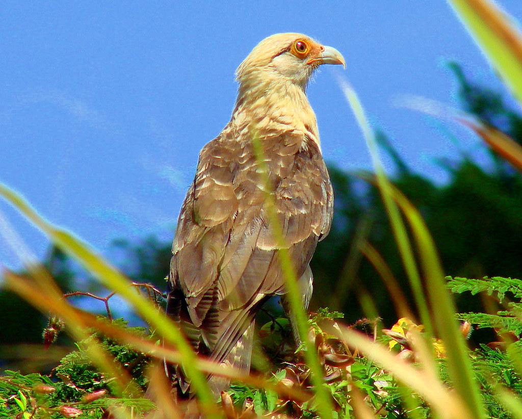 Caricare sabanero o chiriguare [Yellow-headed Caracara] (Milvago chimachima cordatus)