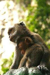 chimpanzee(0.0), animal(1.0), baboon(1.0), monkey(1.0), mammal(1.0), fauna(1.0), old world monkey(1.0), new world monkey(1.0), macaque(1.0), wildlife(1.0),