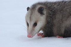 animal(1.0), opossum(1.0), virginia opossum(1.0), possum(1.0), common opossum(1.0), mammal(1.0), fauna(1.0), whiskers(1.0), wildlife(1.0),