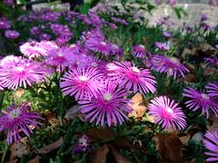 dorotheanthus bellidiformis(1.0), annual plant(1.0), flower(1.0), plant(1.0), wildflower(1.0), flora(1.0), ice plant(1.0), petal(1.0),