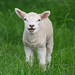 That's a BIG Noise from a Lil lamb..:O)))