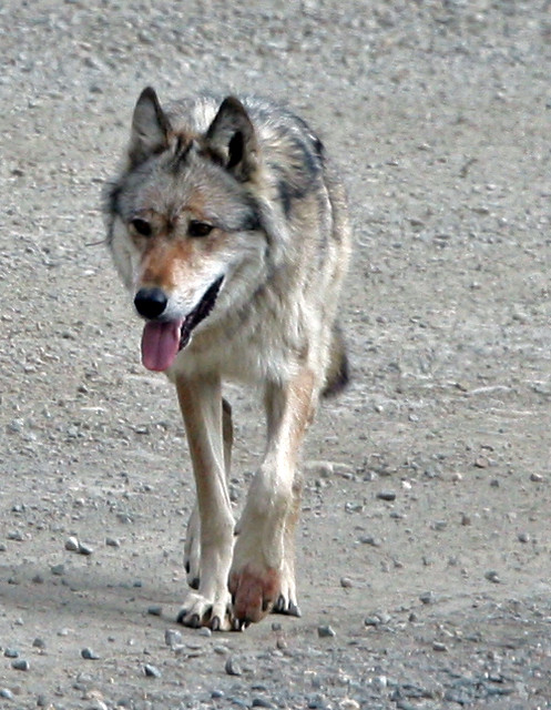 Alpha Female Wolf | She had just killed a snowshoe hare or a