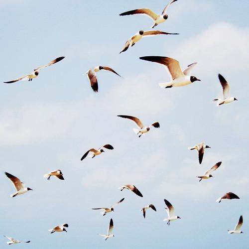 [フリー画像素材] 動物 2, 鴎・カモメ, ユリカモメ, 動物 - 群れ, 鳥類 - 飛ぶ ID:201208210400