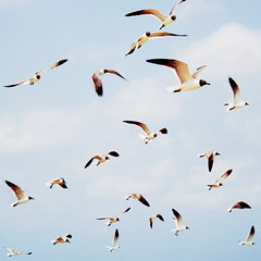 [Free Images] Animals 2, Gulls / Seagulls, Black-headed Gull, Animals - Herd, Birds - Fly ID:201208210400