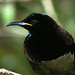 Victoria's Riflebird - Photo (c) David Cook, some rights reserved (CC BY-NC)